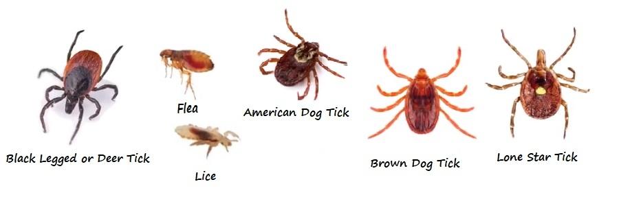 Lice vs fleas | Lice and fleas | Licefreee! |Flea Vs Lice
