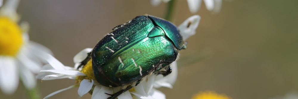 Best Insecticide Products For Getting Rid of June Beetles