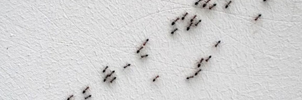 How To Get Rid of Argentine Ants   DIY Argentine Ant Control