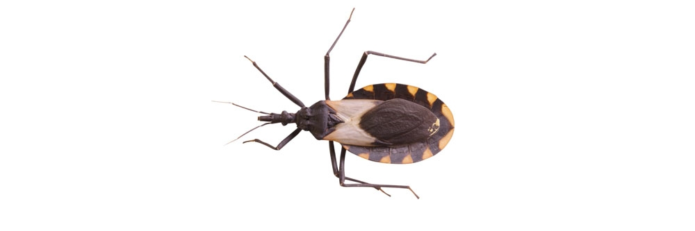 How To Get Rid of Assassin Bugs | DIY Assassin Bug Control
