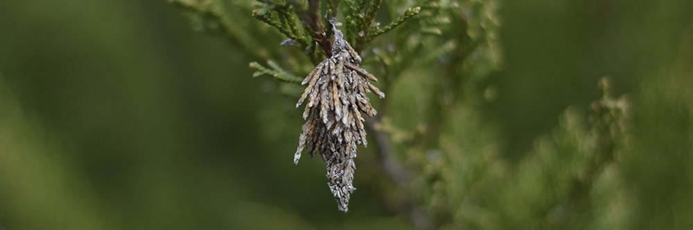How To Get Rid of Bagworms | DIY Bagworm Control Products