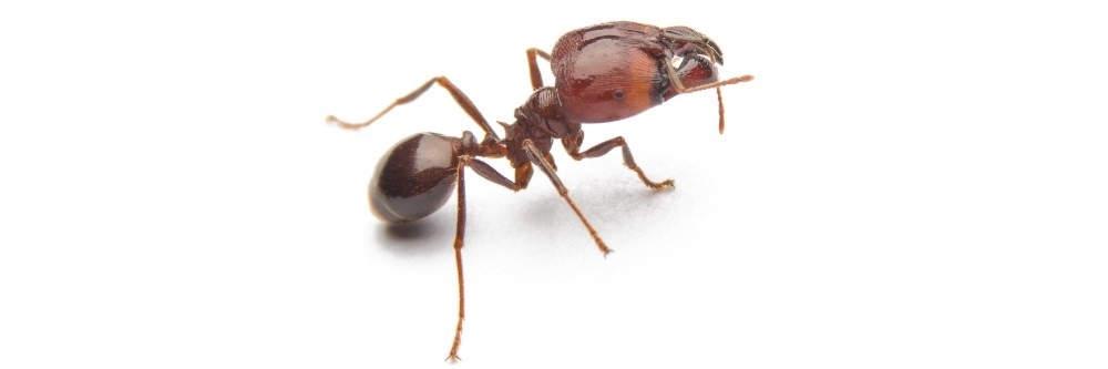 How To Get Rid of Big Headed Ants | DIY Big Headed Ant ...