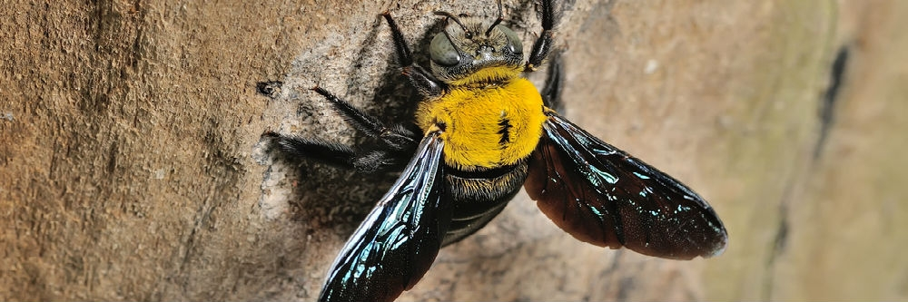 How To Get Rid Of Carpenter Bees Naturally | Solutions Pest