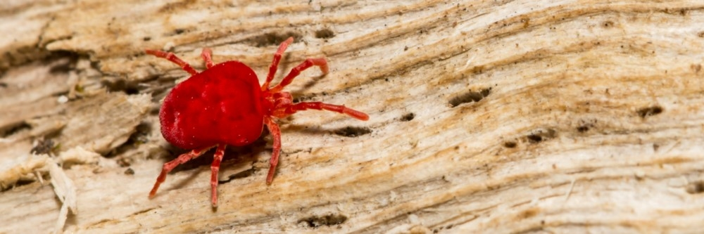 How To Get Rid of Red Bugs   DIY Red Bug Control Products