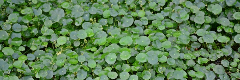 Best Herbicide Products For Dollarweed Control Solutions
