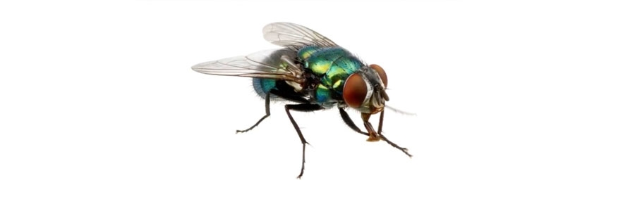 How To Get Rid of Flies   DIY Fly Control Products