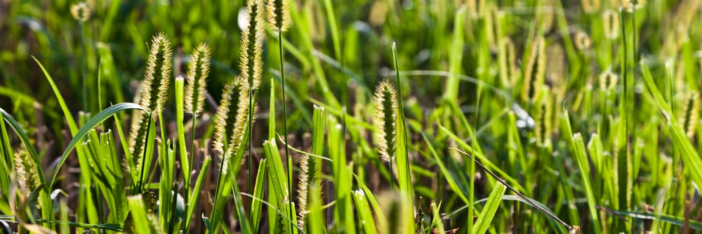 How To Control Foxtail On Your Lawn