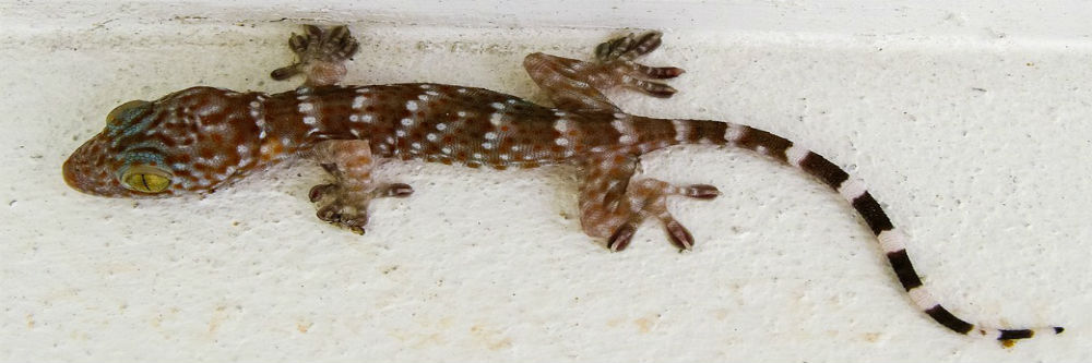 How To Get Rid Of A Geckos In 4 Easy Steps Diy House Gecko Control Solutions Pest Lawn