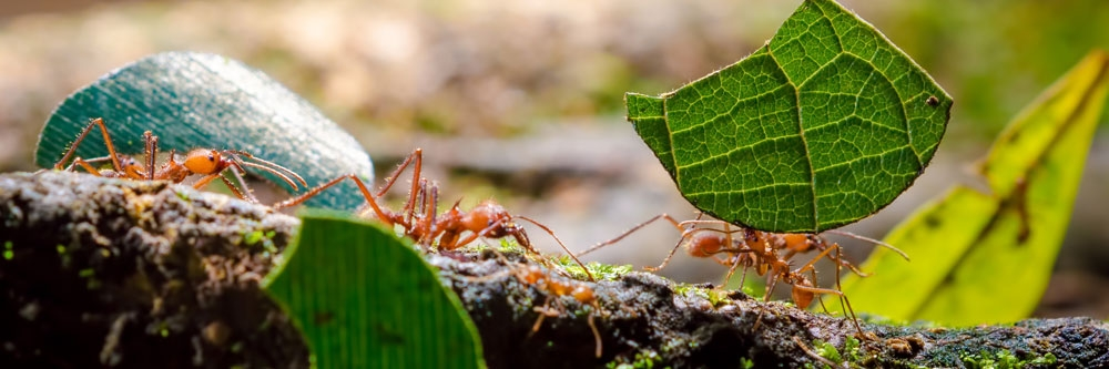 How To Get Rid Of Leafcutter Ants Diy Leaf Cutter Ant Treatment Guide Solutions Pest Lawn