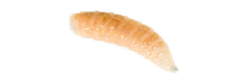 Get Rid Of Maggots