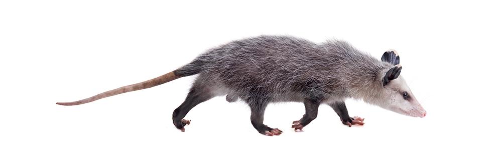 Possum ID