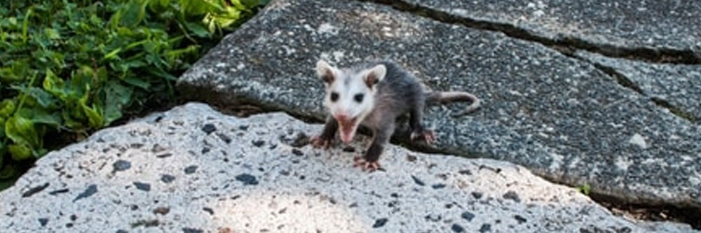 How To Get Rid of Opossums | DIY Opossum Control Products