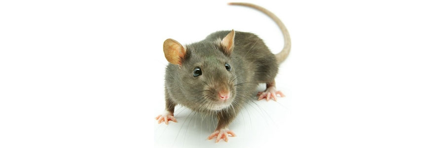 How To Get Rid of Rats & Mice| DIY Rat & Mouse Control