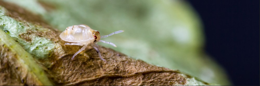 How To Get Rid Of White Mites Solutions Pest Lawn