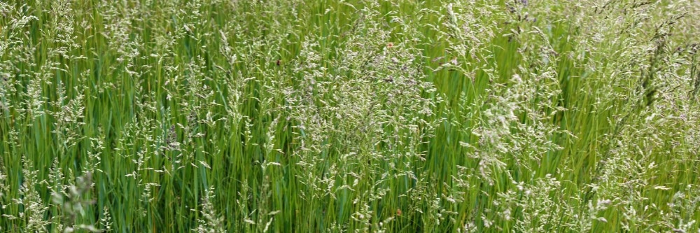 How To Get Rid Of Tall Fescue Grass Solutions Pest Lawn