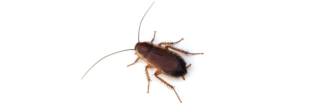 Wood Roach Control How To Get Rid Of Wood Roaches Diy Wood Roach Treatment Guide Solutions Pest Lawn